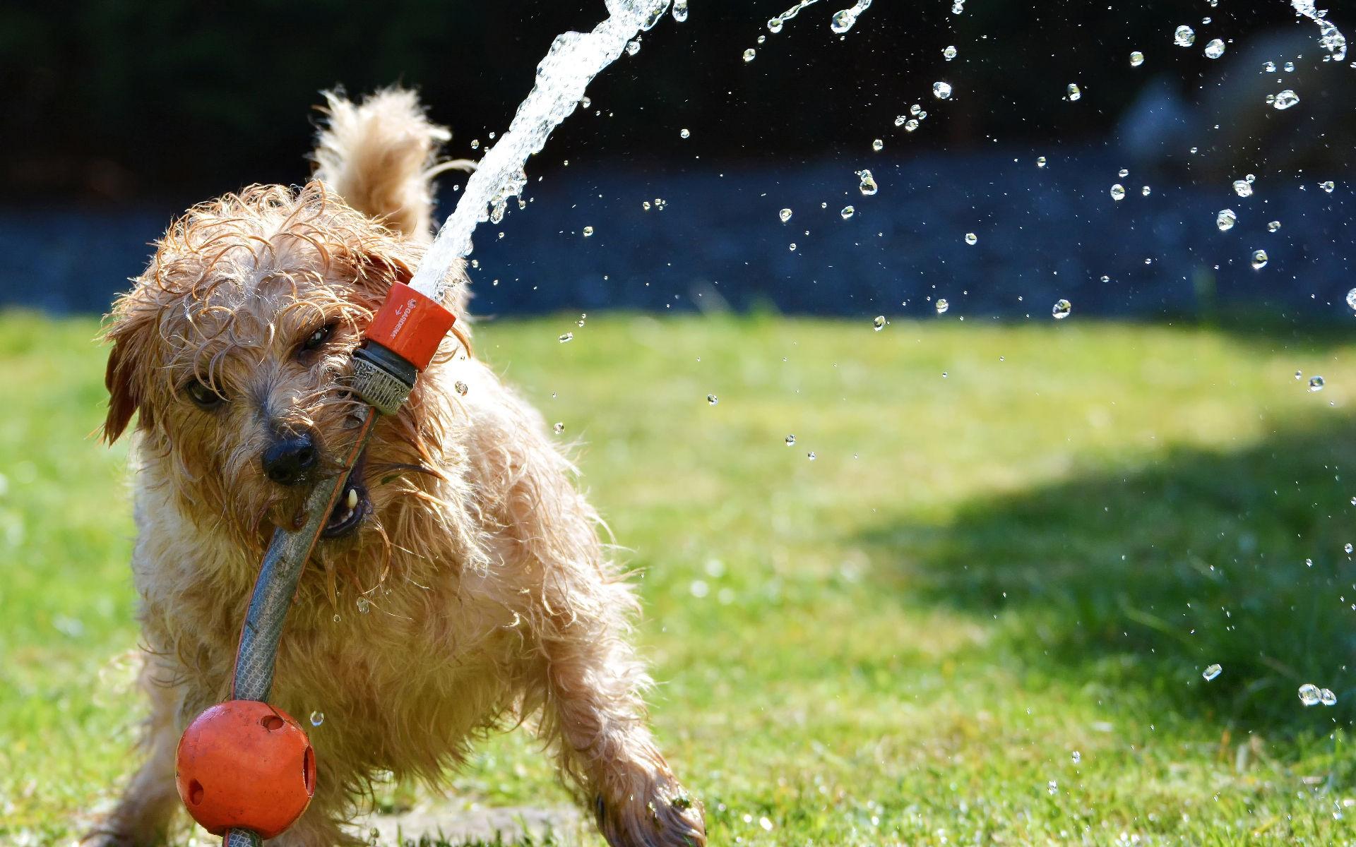 Erkennen und Verhindern von Hitzeerschöpfung bei Hunden